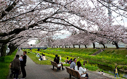 Hanami on the bank of Sana river